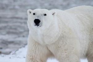 polar-bear-404314_640
